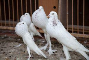 Engelske pouter duer - Dvoraks store hobby